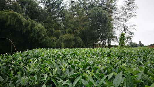 学习茶园生物防治技术 助推福鼎生态茶园发展
