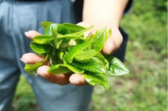 为什么云南的白茶大多都是用景谷的料?