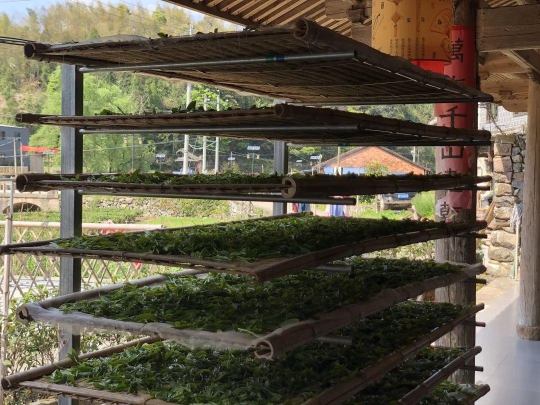 传统白茶品质形成及科学冲泡浅析