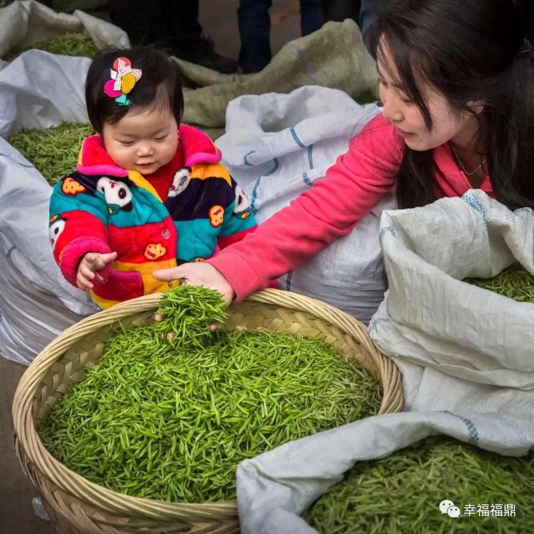 """福鼎创新""""3+4+3""""模式打通白茶产业链"""