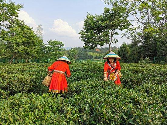 福建建阳:发展小白茶产业 打赢脱贫攻坚战