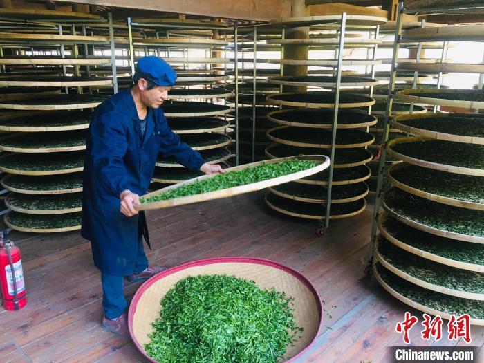 """福建漳墩:女镇长为""""小白茶""""代言 带活一方产业"""